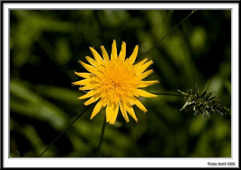 Two Flowered Cynthia