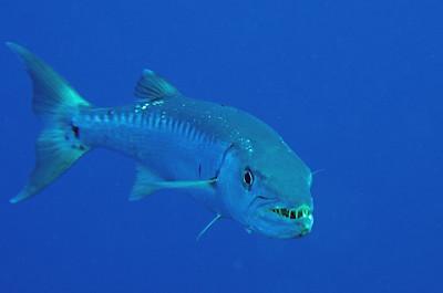 A barracuda shows his best menacing look!