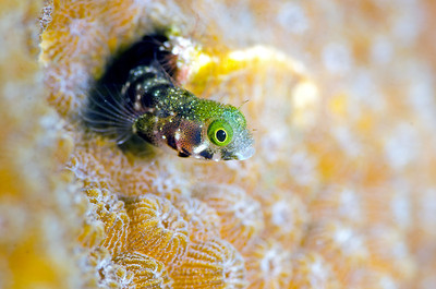 Spineyhead Blenny