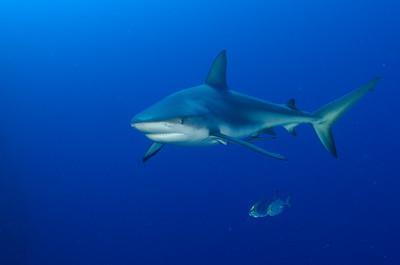 A reef shark, at Halfmoon Caye, Belize.