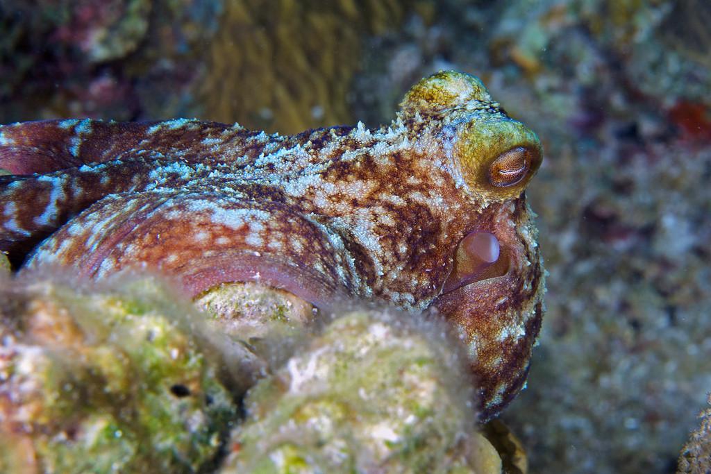 Caribbean Octopuses (Octopus briareus)