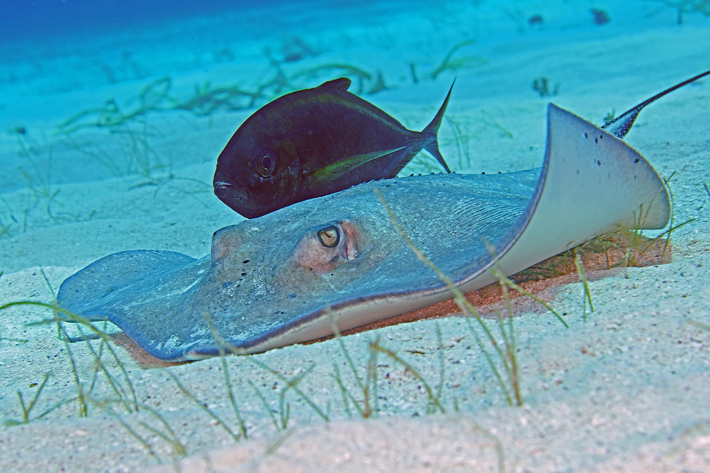Southern Stingrays are frequently accompanied by these Bar Jacks.