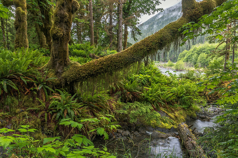 Along the Quinault River, Olympic National Park, WA