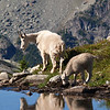 Mountain goats, Tuck and Robin Lakes, Washington.