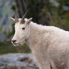Mountain goat, Washington's Cascade Mountains.