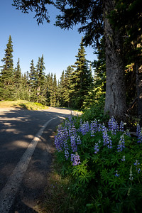 forest lupine growing on the roadside in washington