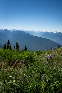 snow capped mountains with grass and wildflowers in olympic national park