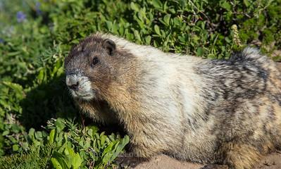 Marmot Stink Eye