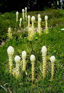 Bear Grass Pompoms