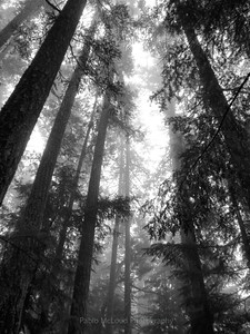 Old Growth Sentinels