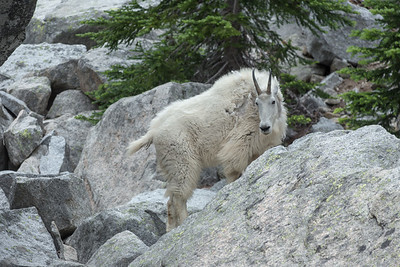 And Another Habituated Mountain Goat