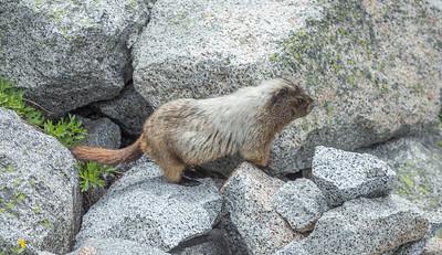 Nice Marmot Dude