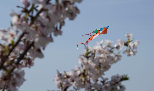 Washington D.C. Cherry Blossoms 2013