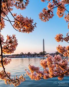 Washington Cherry Blossom Frame