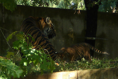 Soyono playing with one of her cubs - Washington, DC ... October 1, 2006 ... Photo by Rob Page III