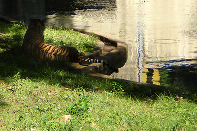 Soyono lounging by the water and away from her cubs - Washington, DC ... October 1, 2006 ... Photo by Rob Page III