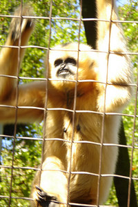 The White-cheeked Gibbon (Hylobates concolor) climbs up the enclosure he is in - Washington, DC ... October 1, 2006 ... Photo by Rob Page III