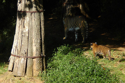 One of the cubs following its mother (Soyono) around - Washington, DC ... October 1, 2006 ... Photo by Rob Page III