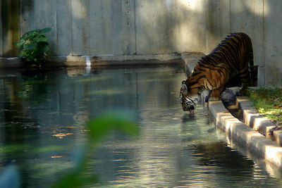 Soyono, the female mother Sumatran tiger at the National Zoo, takes a break from watching her cubs to get a drink of water - Washington, DC ... October 1, 2006 ... Photo by Rob Page III