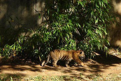 The young cub is on the prowl - Washington, DC ... October 1, 2006 ... Photo by Rob Page III