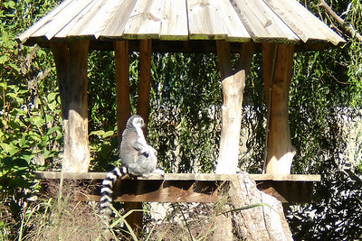 The lemur hangs out in his own little hut - Washington, DC ... October 1, 2006 ... Photo by Rob Page III