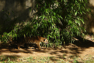 The young cub blends into the plants as he prowls around - Washington, DC ... October 1, 2006 ... Photo by Rob Page III