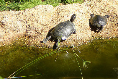 The turtles are sunbathing.  They look a little hot and tired with their legs out - Washington, DC ... October 1, 2006 ... Photo by Rob Page III