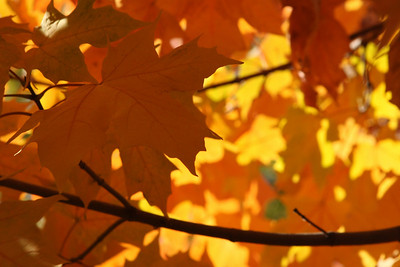 The vibrant maple - Washington, DC ... October 30, 2008 ... Photo by Rob Page III