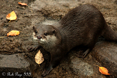 Asian Small-clawed Otters at the National Zoo.  This is the smallest otter species in the world - Washington, DC ... October 24, 2009 ... Photo by Rob Page III