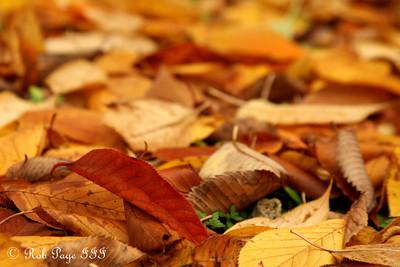 Fall foliage - Washington, DC ... October 31, 2009 ... Photo by Rob Page III