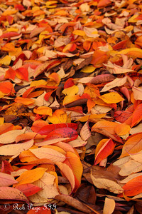 Autumn leaves - Washington, DC ... November 15, 2009 ... Photo by Rob Page III