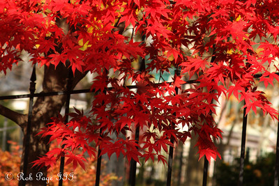 Fall colors outside our home - Washington, DC ... November 15, 2009 ... Photo by Rob Page III