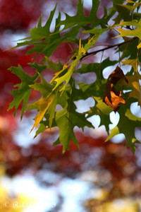 Autumn colors jockey for position - Washington, DC ... November 8, 2009 ... Photo by Rob Page III