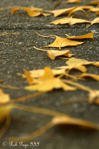 Fallen leaves - Washington, DC ... November 8, 2009 ... Photo by Rob Page III