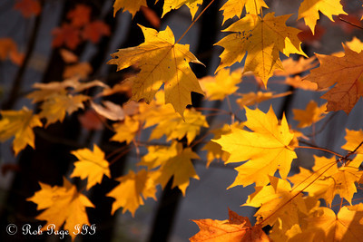 Golden maple leaves - Washington, DC ... November 8, 2009 ... Photo by Rob page III