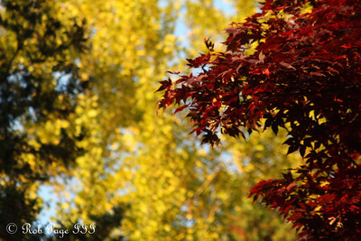 Autumn colors fight for dominance - Washington, DC ... November 8, 2009 ... Photo by Rob Page III