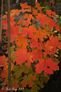 Autumn colors - Washington, DC ... November 8, 2009 ... Photo by Rob page III