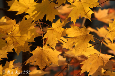 Colorful maple leaves - Washington, DC ... November 8, 2009 ... Photo by Rob page III