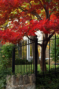 Japanese maples - Washington, DC ... November 8, 2009 ... Photo by Rob page III