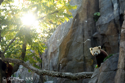 A red panda at the National Zoo - Washington, DC ... October 7, 2009 ... Photo by Rob Page III