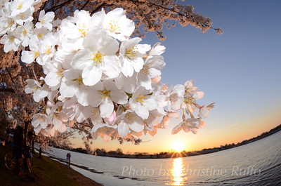 Cherry blossoms at Tidal Basin. April 2014. Washington, D.C. Photo by Christine Ruffo