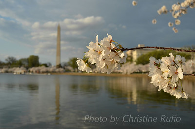 Tidal Basin cherry trees at peak bloom. March 19, 2012