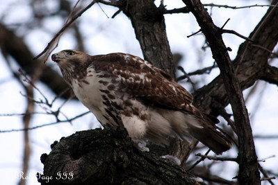A hawk consumes a pigeon - Washington, DC ... January 6, 2011 ... Photo by Rob Page III