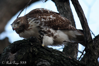 A hawk enjoys a pigeon - Washington, DC ... January 6, 2011 ... Photo by Rob Page III