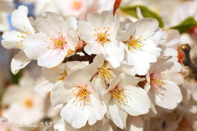 Cherry Blossoms - Washington, DC ... April 13, 2015 ... Photo by Rob Page III