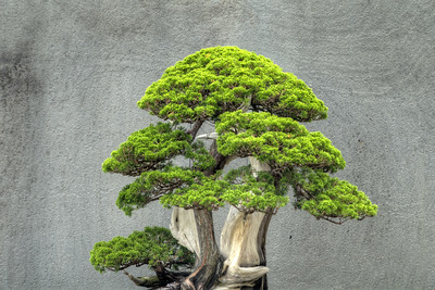 A Japanese white pine tree on display at the National Bonsai and Penjing Museum at the U.S. National Aroboretum in Washington, D.C. on Tuesday, August 18, 2015. Copyright 2015 Jason Barnette