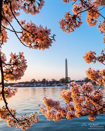 Washington Cherry Blossom Frame