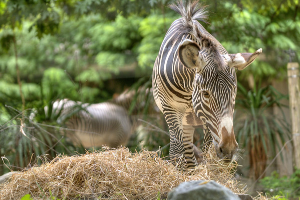 A zebra enjoys a meal at the National Zoological Park, part of the Smithsonian Institution, in Rock Creek Park, Washington, D.C. on Monday, August 19, 2013. Copyright 2013 Jason Barnette