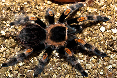 Mexican orange kneed tarantula (euathlus smittii) (female)