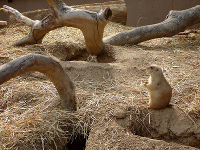 The cute little prairie dogs - Washington, DC ... April 14, 2006 ... Photo by Rob Page III